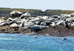colonia de foca gris en la costa del Reino Unido