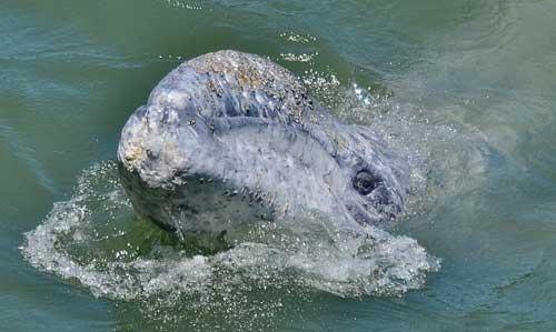 cría de ballena gris en el río Klamath