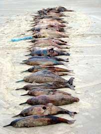 delfines muertos enredados por artes de pesca