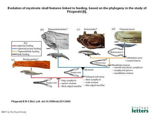 evolución cráneo de misticetos