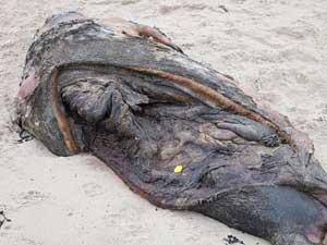 foca muerta con marcas del 'sacacorchos'