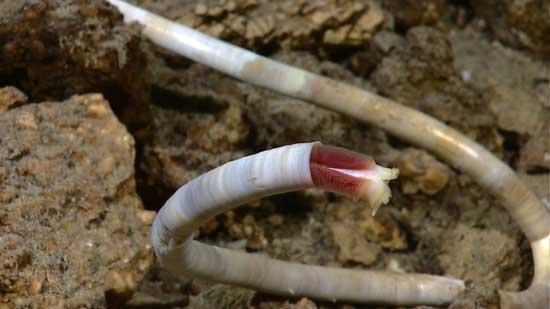 gusanos de tubo en respiraderos hidrotermales