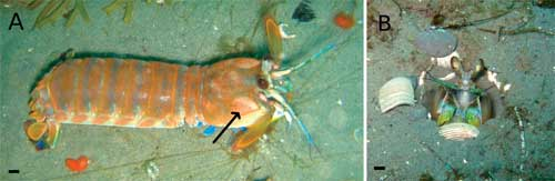 Hemisquilla californiensis, camarón mantis