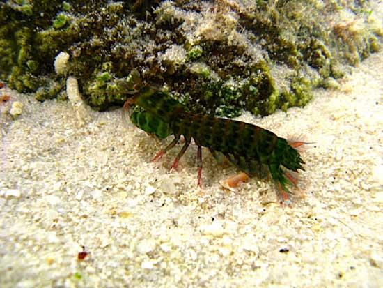 Hemisquilla californiensis (camarón mantis)