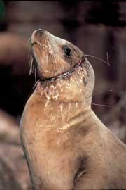 león marino herido por una línea de palangre