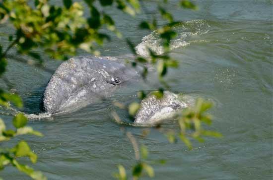 madre y cría de ballena gris en el río Klamath, California