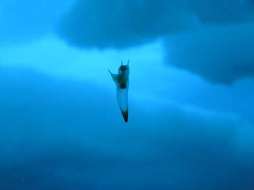mariposa de mar o Clione