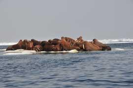 grupo de morsas en el Mar de Chukchi