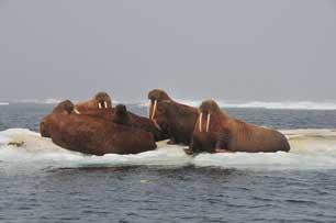 morsas en el Mar de Chukchi