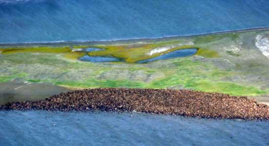 morsas en una playa de Point lay, Alaska