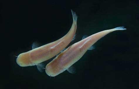 peces de las cavernas (Phreatichthys andruzzii)