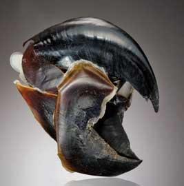 pico de un calamar de Humboldt