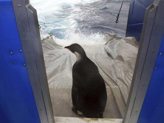 pingüino Happy Feed liberado desde el buque Tangaroa