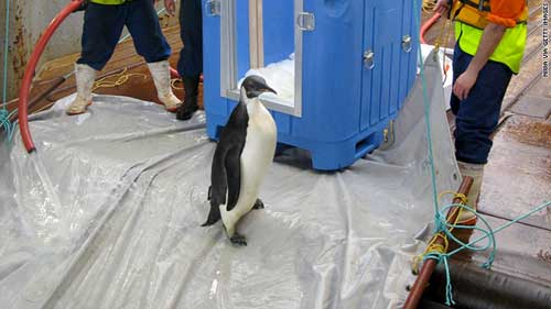 pingüino  Happy Feed en la rampa del buque Tangaroa