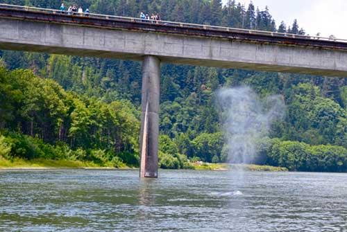 respiración ballena gris bajo puente autopista 101 EE.UU.
