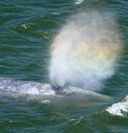 respiración de ballena gris