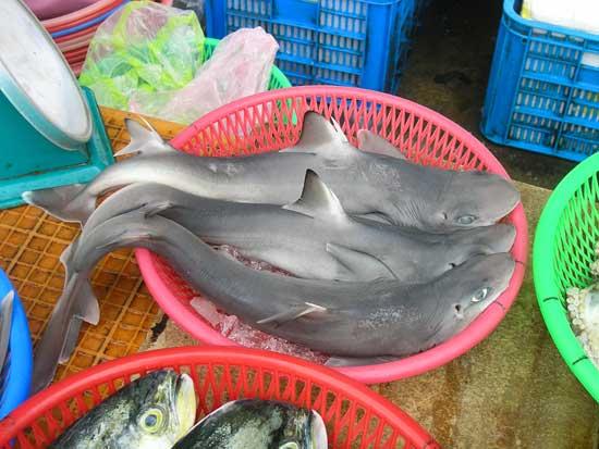 Squalus formosus, nueva especie de tiburón