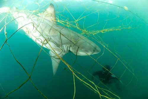 tiburón toro enredado
