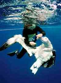 albatros atrapado en un anzuelo