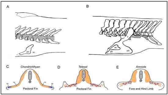 evolución de la pelvis en los tetrápodos