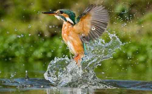 el martín pescador sale del agua