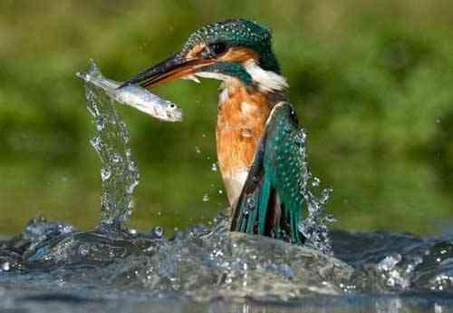 martín pescador sale del agua con un pez