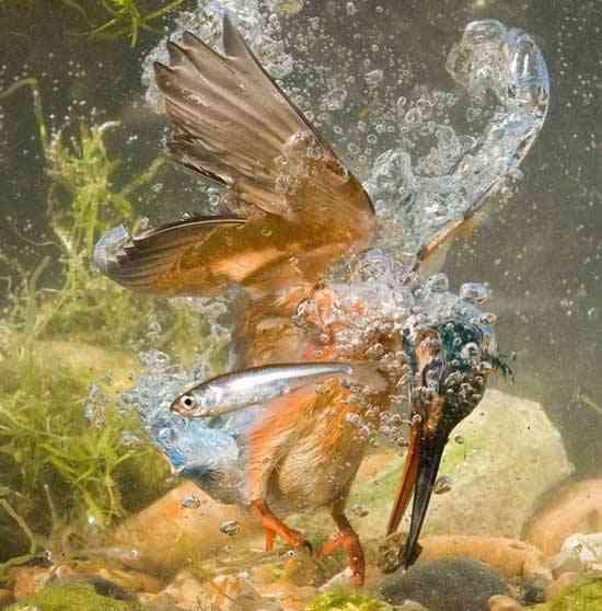 martín pescador muerde una piedra