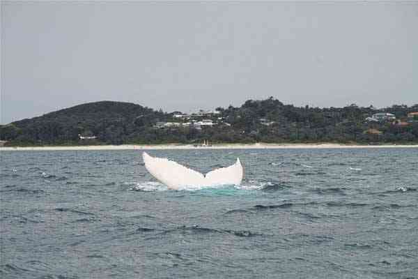 Migaloo la ballena albina en Byron Bay, Australia