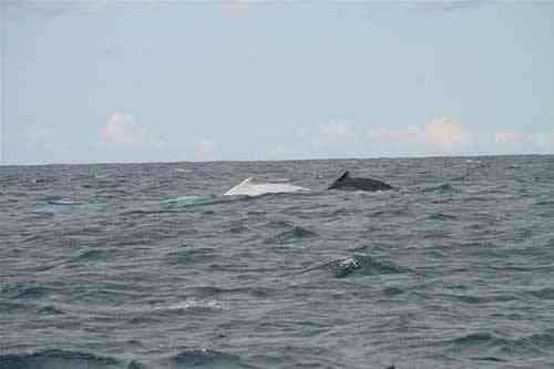 Migaloo, la ballena blanca y un compañero en Byron Bay