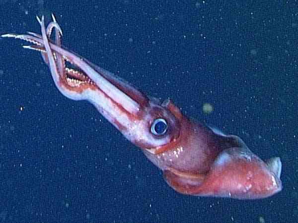 calamar Octopoteuthis deletron