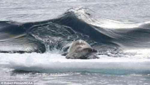 ola de las orcas golpea el témpano de hielo