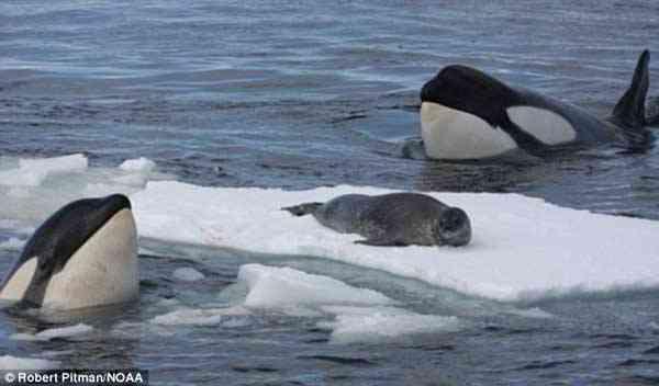 orcas acechan a una foca
