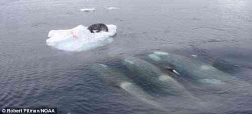 orcas forman un ola para cazar a una foca