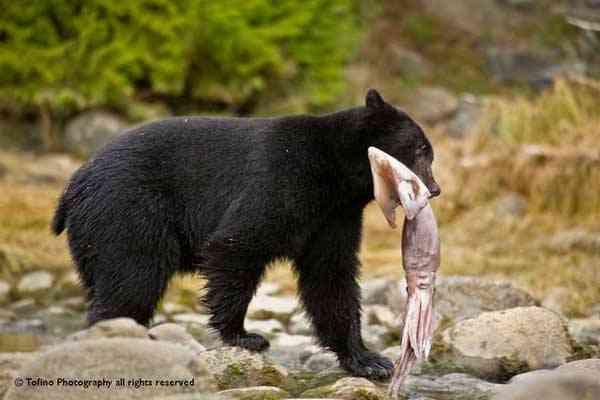 oso negro caza un calamar de Humboldt