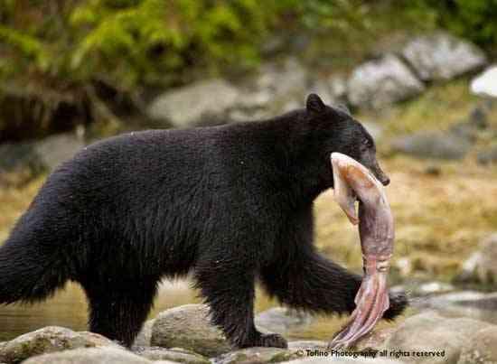 oso caza un calamar de Humboldt