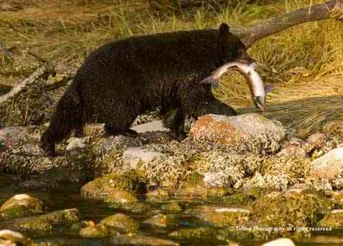 oso negro caza un salmón