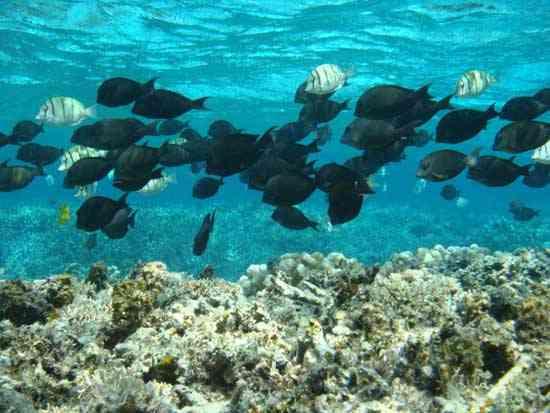 peces hervíboros en un arrecife de coral