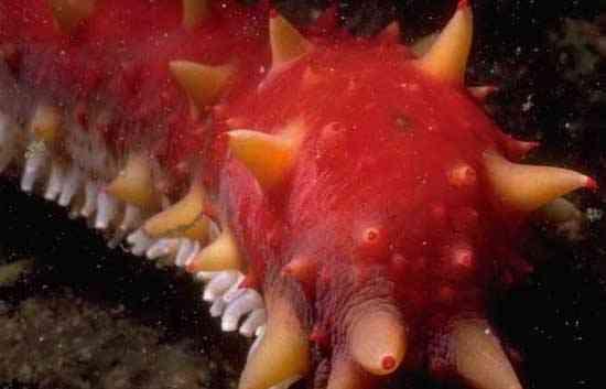 pepino de mar de California