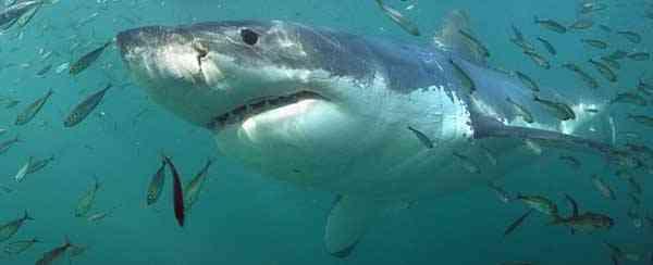 tiburón blanco, semana europea del tiburón
