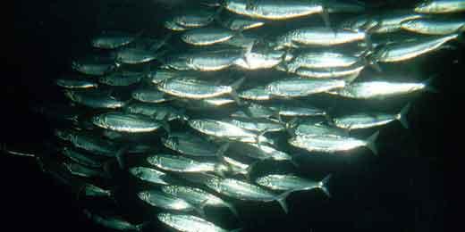 arenque del Pacífico (Clupea pallasii)