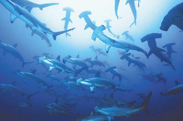 banco de tiburones martillo
