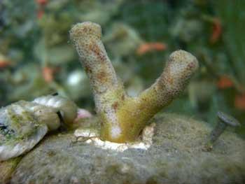 efectos del alga Chlorodesmis en el coral tras 20 días