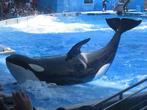 espectáculo con orcas en Seaworld