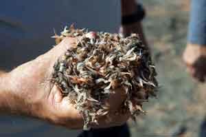 puñado de camarones muertos en Tuineje, Fuerteventura