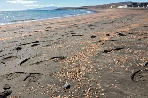 camarones muertos en la playa de Tarajalejo, Tuineje - Fuerteventura