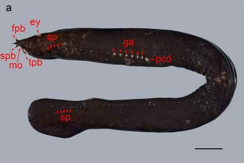 lamprea (Eptatretus cirrhatus)
