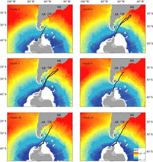 migraciones de las orcas seguids por satélite