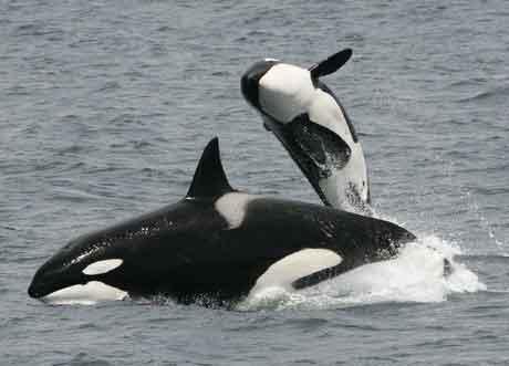 Orcinus orca en la Antártida