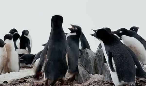 pelea de pingüinos en la Antártida