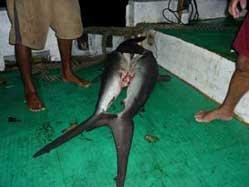 pesca ilegal de tiburones en Malpelo